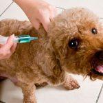 Calama: Vacunan al menos a 100 personas con dosis para perros