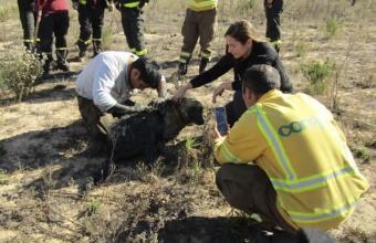 Emocionante: Rescatista Conaf salvó a perrita rodeada de buitres