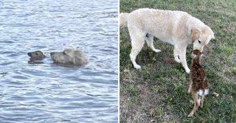 """Perro """"héroe"""" rescata a una cría de ciervo de ahogarse y ahora son mejores amigos"""